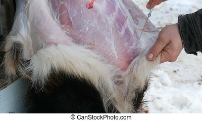 Male hands skinned animal with a special knife. A male...