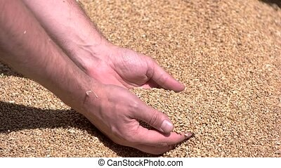 Male hands slowly take grain. Grains are falling in slow-mo....