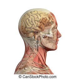 Male head with muscles, skull and brain. - Male head with...