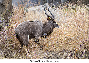 Male Horned Nyala Walking through the Grass in South Africa