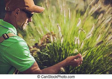Male Horticulturist Tending To Decorative Garden Grasses.