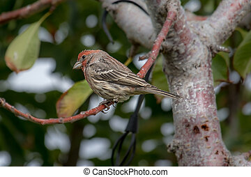 Male house finch perched on a tree branch