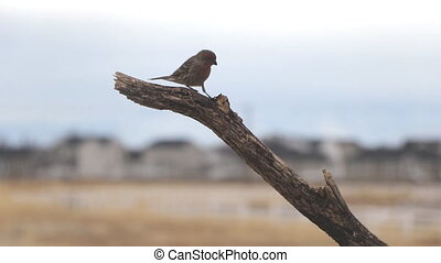 Male house finch perches on a tree branch then hops around looking for food