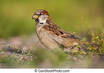Male house sparrow feeding on grass seeds and sitting on the ground in summer