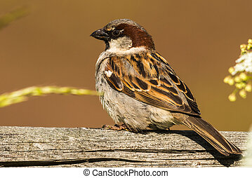 House sparrow - Male House sparrow in Sweden