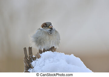 House Sparrow - Male House Sparrow in winter plumage