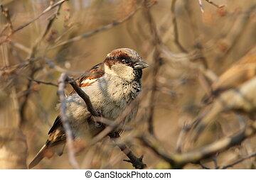 male house sparrow on a bush