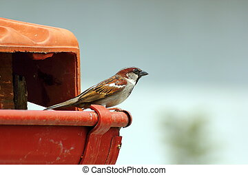 male house sparrow on the roof