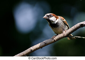 Male House Sparrow Perched on a Branch