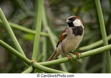 Male house sparrow perched on green branch