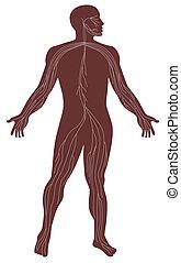 Male Human Anatomy Nervous System