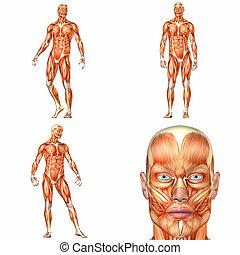 Male Human Body Anatomy Pack - 1of3