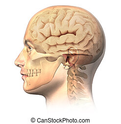 Male human head with skull and brain in ghost effect, side view. Anatomy image, on white background, with clipping path.