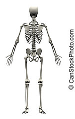 Male Human Skeleton - back view
