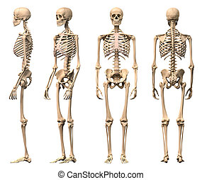 Male Human skeleton, four views, front, back, side and ...