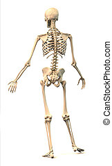 Male Human skeleton, in dynamic posture, rear view.