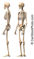 Male Human skeleton, two views, side and perspective. ...