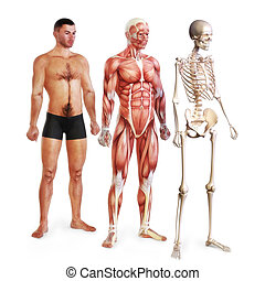 Male illustration of skin, muscle and skeletal systems...