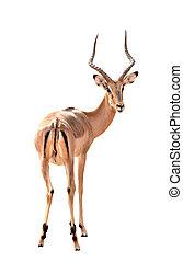 male impala isolated - adult male impala isolated on white...