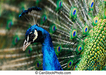 male indian peacock - beautiful male indian peacock showing...