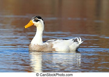 Male Indian Runner Duck in Blue Water