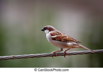 Male Indian sparrow