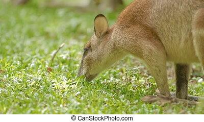 Male kangaroo eats grass, Singapore