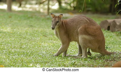 Male kangaroo eats grass, Singapore