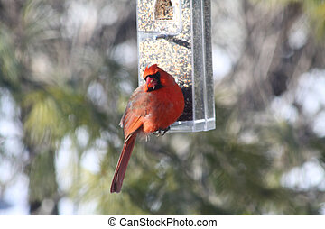 (male), kardinaal, noordelijk
