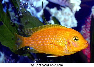 Male Kenyi, Tropical Fish - This guy is the boss of the tank