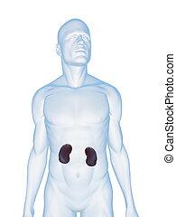 male kidneys
