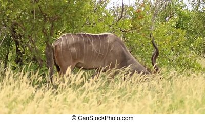 Greater male kudu antelope grazing and walking in Kruger National Park, South Africa.