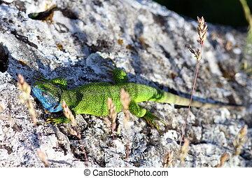 male Lacerta Viridis basking in the sun, green european...