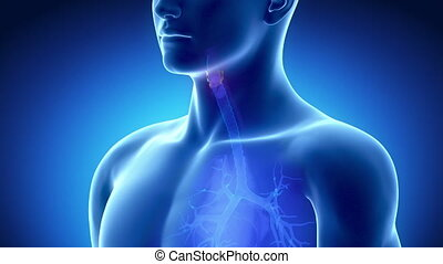 Male LARYNX anatomy in blue  x-ray view