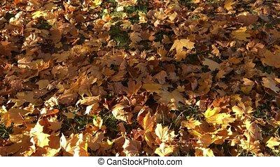 Male legs walking on yellow fallen maple leaves in autumn....
