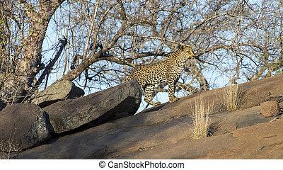 Male Leopaerd prowling a Ridgeline in Mala Mala, South Africa