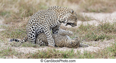 Male leopard biting a female while mating on short grass in nature