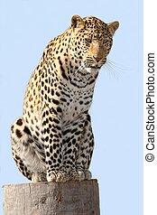 Male Leopard on Log