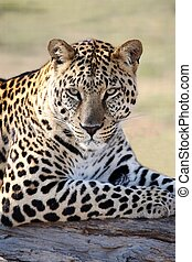 Male Leopard Portrait - Beautiful male leopard resting on a ...