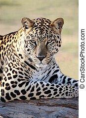 Male Leopard Portrait - Beautiful male leopard resting on a ...