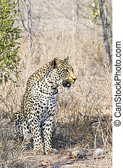 Male Leopard sitting in the South African Bush
