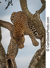 Male leopard spans branches of forked tree