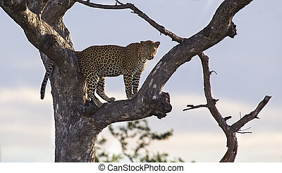 Male leopard standing high in a Maroela tree to look for prey