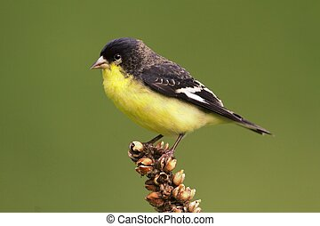 Male Lesser Goldfinch (Carduelis psaltria) on a mullion...