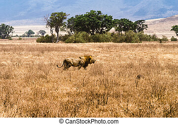 Male Lion - A lone male lion walking proud in the Ngorongoro...