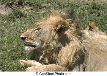 A male Lion resting for the afternoon on the Serengeti plains