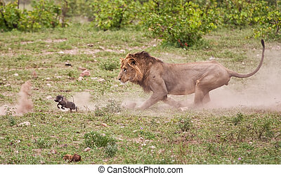 Male lion chasing baby warthog with dust all over