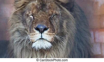 Male Lion close up head
