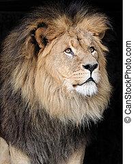 Male Lion Close-Up