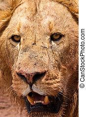 Male lion closeup of the head